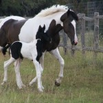 Mocha & Noir - 1st time in Pasture!