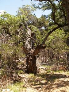 Huge old Oak on the trail