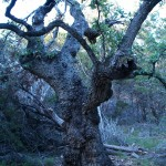 Wicked Old Oak!