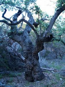 Wicked Old Oak!