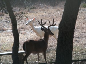 Beautiful albino doe with buck